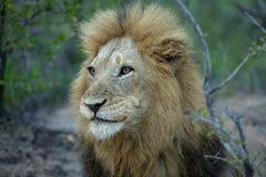 Un retrato de un león dominante imagen de archivo libre de regalías