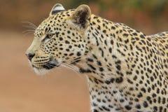 Un retrato de un leopardo masculino imagen de archivo