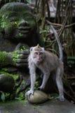 Un retrato de los fascicularis de cola larga del Macaca del macaque en el bosque sagrado del mono, Ubud, Indonesia foto de archivo libre de regalías