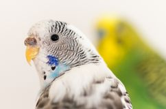 Un retrato de un periquito blanco foto de archivo