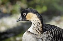 Un retrato de un ganso o de un NeNe hawaiano. Fotos de archivo