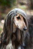 Un retrato de un perro, un galgo afgano El perro es como un hombre fotografía de archivo
