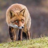 Un retrato de un zorro rojo Foto de archivo libre de regalías