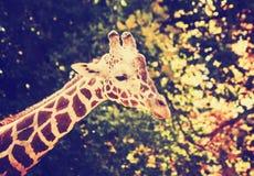 Un retrato de una jirafa bonita en un parque zoológico entonó con un vint retro Foto de archivo