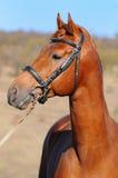 Un retrato del caballo del alazán Imagen de archivo