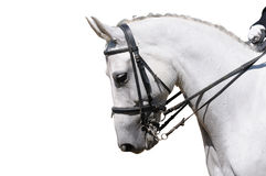 Un retrato del caballo gris del dressage aislado Imagenes de archivo