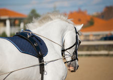 Un retrato del entrenamiento gris del caballo de la doma Fotos de archivo libres de regalías