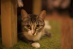 Un retrato del gato gris Foto de archivo