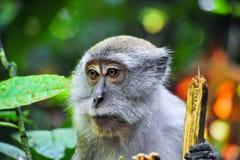 Un retrato del mono del maqaque de Sumatran Fotografía de archivo libre de regalías