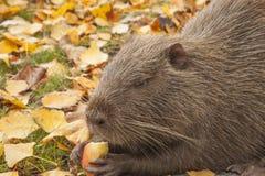 Un retrato del muskrat lindo grande de la rata de agua Mantiene un pedazo de manzana sus patas y come imagen de archivo