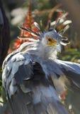 Un retrato del pájaro de secretaria con plumaje hermoso fotografía de archivo libre de regalías