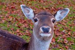 Un retrato divertido de un ciervo joven que le mira Imágenes de archivo libres de regalías