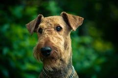 Un retrato hermoso de la cabeza de Airedal Terrier en un prado delante de un bosque con un cuello de perro foto de archivo libre de regalías