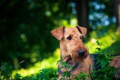 Un retrato hermoso de la cabeza de Airedal Terrier en un prado delante de un bosque con un cuello de perro fotos de archivo libres de regalías