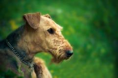 Un retrato hermoso de la cabeza de Airedal Terrier en un prado delante de un bosque con un cuello de perro foto de archivo