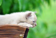 Ciérrese encima de primera vez de exploración del mundo del gatito birmano Foto de archivo libre de regalías