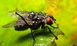 Retrato de una mosca doméstica mojada imagenes de archivo