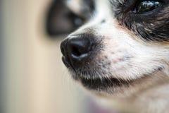 un retrato minúsculo del perro de la chihuahua, tiro extremo de la macro del primer Con el mundo reflejado en sus ojos Imagen emo fotografía de archivo libre de regalías