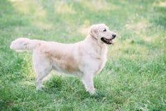 Un retriver amical de chien passe un temps actif sur la nature au milieu de la forêt images stock