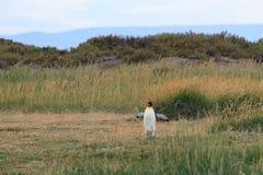 Un rey solitario Penguin, patagonicus del Aptenodytes, corriendo a través de la hierba en Parque Pinguino Rey, Tierra del Fuego P Fotos de archivo