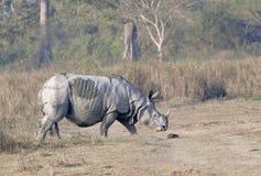 Un rhinocéros à cornes Images libres de droits
