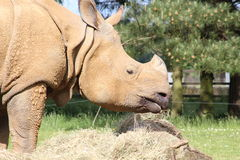 Un rhinocéros Image libre de droits