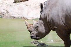 Un rhinocéros blanc Images stock