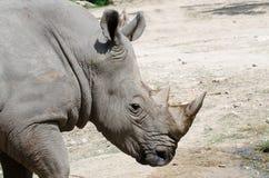 Un rhinocéros blanc Image libre de droits