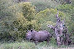 Un rhinocéros et deux oiseaux en Afrique du Sud images stock