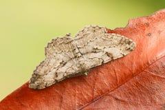 Un rhomboidaria imponente de Willow Beauty Moth Peribatodes se encaramó en una hoja Fotografía de archivo