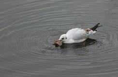 Un ridibundus grazioso di Chroicocephalus del gabbiano comune che nuota in un lago con un gambero in suo becco che appena ha pres fotografie stock libere da diritti