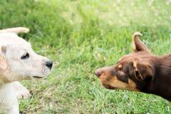 Un ringhio di due cani ad a vicenda Fotografie Stock Libere da Diritti