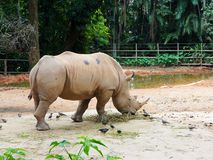 Un rinoceronte Immagine Stock Libera da Diritti