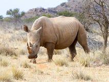 Un rinoceronte alimenta adentro un remiendo herboso seco en el parque nacional de Mokala en Suráfrica Fotos de archivo
