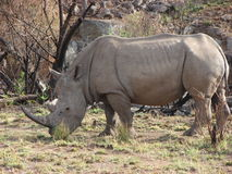 Rinoceronte bianco africano Fotografie Stock Libere da Diritti
