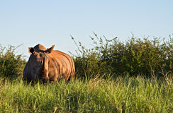 Un rinoceronte blanco en el arbusto africano Fotos de archivo