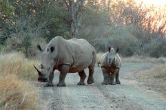 Un rinoceronte blanco femenino con su cachorro en el parque nacional de Kruger Fotos de archivo