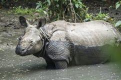 Un rinoceronte de cuernos Fotos de archivo