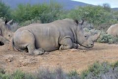 Un rinoceronte está descansando sobre la tierra Imagen de archivo libre de regalías