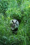 Un rinoceronte indiano cornuto immagini stock