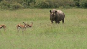 Un rinoceronte negro que pasta así como las gacelas de Thompson almacen de metraje de vídeo