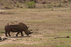 Un rinoceronte nel parco nazionale di Pilanesberg, Sudafrica Fotografia Stock