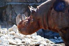 Rinoceronte nero Fotografia Stock