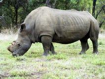 Un rinoceronte pasta pacífico en un paisaje africano de la sabana fotografía de archivo