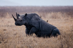 Un rinoceronte que se sienta en la tierra Fotografía de archivo