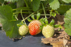 Un-riped Strawberries Royalty Free Stock Photo