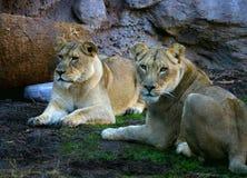 Un riposo dei due lioness Fotografie Stock