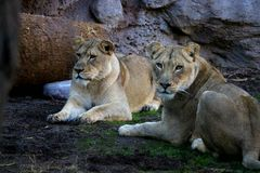 Un riposo dei due lioness Fotografia Stock Libera da Diritti