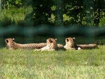 Un riposo di tre ghepardi Fotografia Stock Libera da Diritti