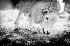 Un ritratto animale ad alto contrasto di una pecora comune di britannici alla luce di primo mattino nel marzo 2015 fotografie stock libere da diritti